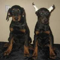 Doberman Puppies at Pogo Kennel in Coimbatore