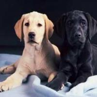 Labrador Puppies at Pogo Kennel in Coimbatore