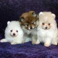 Pomeranian Puppies at Pogo Kennel in Coimbatore