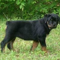 Rottweiler Puppies at Pogo Kennel in Coimbatore