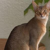 Abyssinian at Coimbatore Pets in Coimbatore