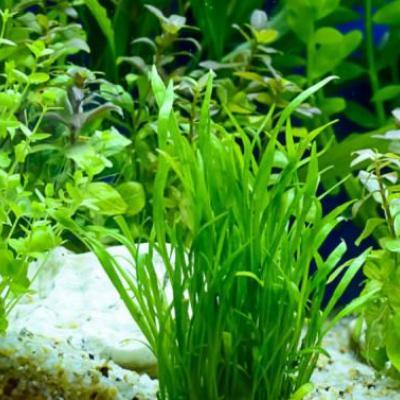 Aquarium Plants at Angel Wings in Perumbavoor